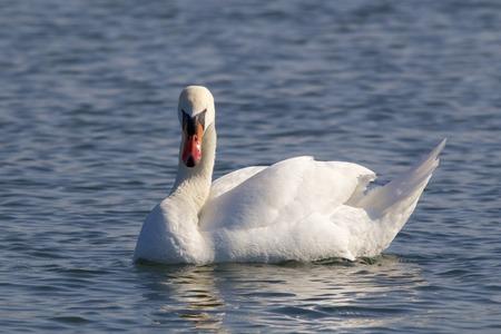 White swan on the River Rhine photo