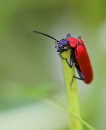 Closeup shot of a bright red Cardinal Beetle climbing a straw photo