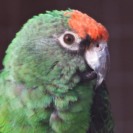 Portrait of a beautiful red-crowned amazon  parrot