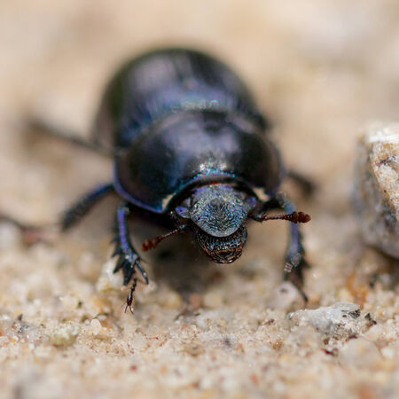 clustered: Closeup shot of a Black Forest dung beetle walking in the sandy rubble of a hiking trail Stock Photo