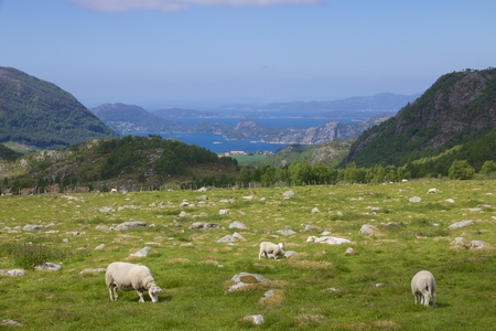 View over a lush Norwegian meadow with sheep and a fjord landscape in the background Stock Photo