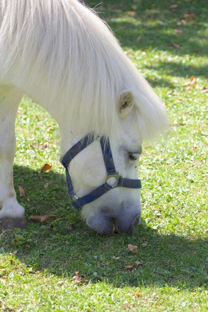 Cute white pony grazing on a meadow photo