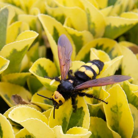 Macro shot of a Mediterranean hornet on yellow leaves