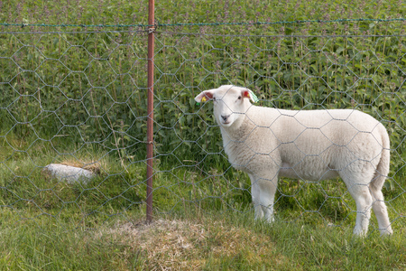electric fence: Portrait of a lamb behind an electric fence Stock Photo