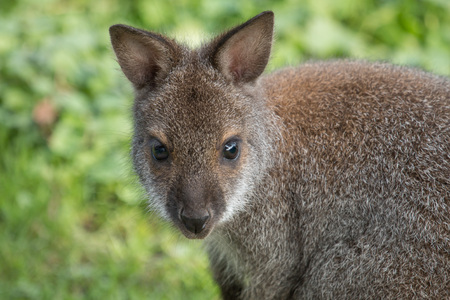 Portrait of a cute Bennet Kangaroo on a green meadow
