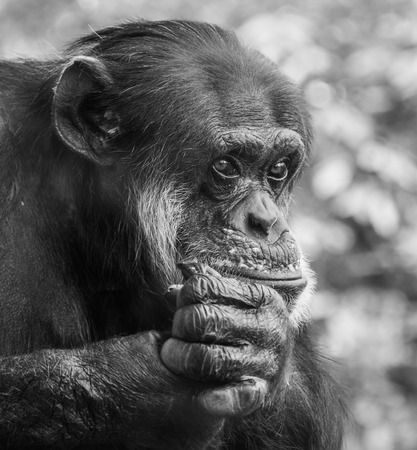 pan paniscus: Portrait of a sad chimpanzee sitting on a tree in captivity, thinking about his life
