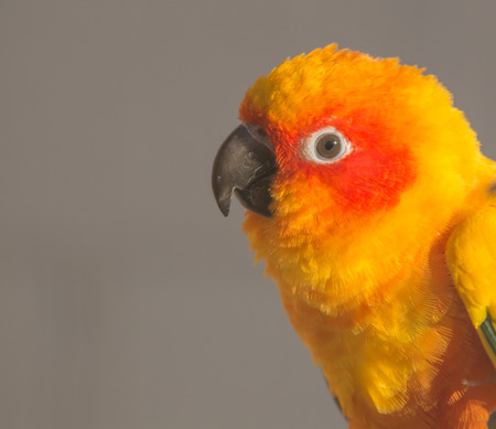 Close-up portrait of a beautiful sun conure, a tropical bird from the parrot family photo