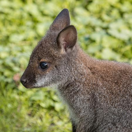 downunder: Portrait of a cute Bennet Kangaroo on a green meadow