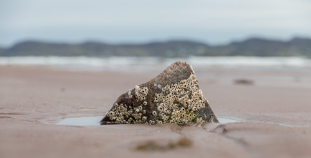Barnacles on a rock at the quiet Cove Beach, Scotland photo
