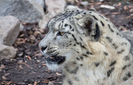snow leopard: Young and well camouflaged Himalayan Snow Leopard waiting for its prey
