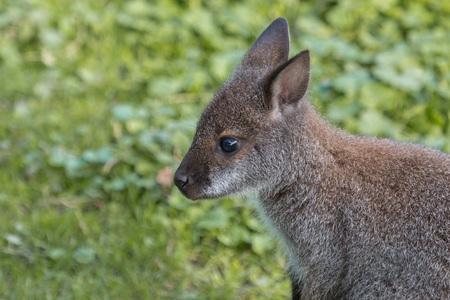 downunder: Portrait of a cute Bennet Kangaroo