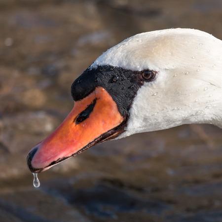 White swan portrait in Freiburg Seepark, Germany photo