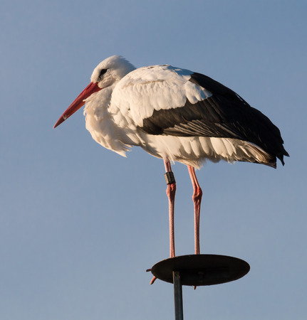 seldom: Graceful white stork on a wooden pole, looking out for its prey in front of a blue evening sky