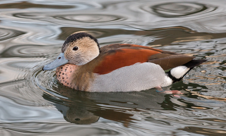 ringed: Cute young ringed teal duck on a lake