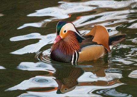 karlsruhe: Colorful mandarin duck swimming on a quiet pond in Karlsruhe, Germany