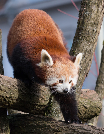 endangered species: Portrait of a cute Red Panda, an endangered species from the Himalayas
