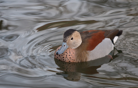 waterbird: Cute young ringed teal duck on a lake