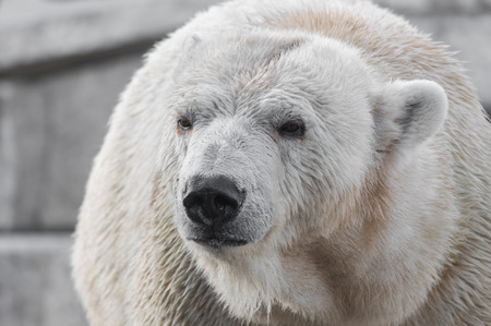 endangered species: Closeup portrait of an old polar bear, an endangered species from the Arctic