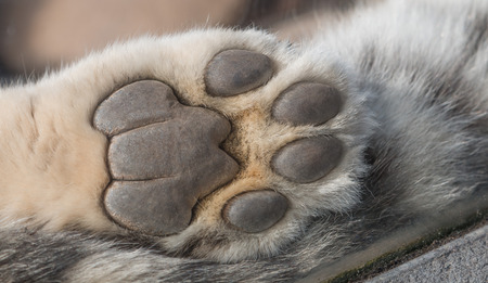 Detailed closeup shot of a Snow Leopards paw from underneath, showing skin and fur of the predator Stock Photo