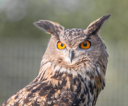 lurk: Closeup portrait of a Great Eagle Owl, an endangered predator of the German Black Forest