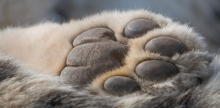 big toe: Detailed closeup shot of a Snow Leopards paw from underneath, showing skin and fur of the predator Stock Photo