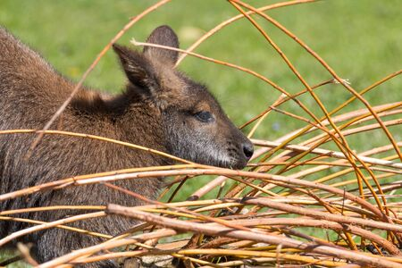 Portrait of a cute Bennet Kangaroo, eating from twigs on a green meadow