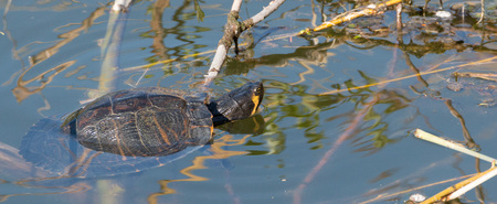 chillout: Beautiful snapping turtle relxaning in the spring sun of a German lake