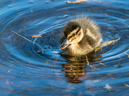 Portrait of an extremely cute mallard duckling, exploring the reed at the shore of a park lake in Freiburg, Germany