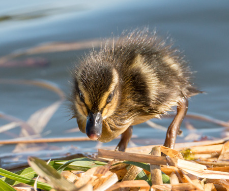 freiburg: Portrait of an extremely cute mallard duckling, exploring the reed at the shore of a park lake in Freiburg, Germany