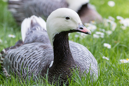 magellan: Portrait of a cute Magellan Goose sitting in the green grass of a park