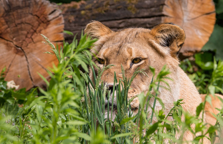 lurking: Graceful female lion lurking in the grass, waiting for its prey Stock Photo