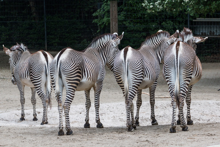 shot from behind: Zebras shot from behind, standing on sand ground, showing off their patterns on their rears Stock Photo