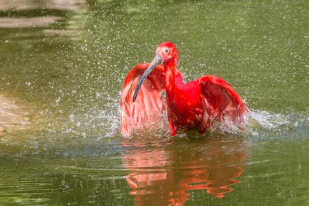 murky: Cute South American Scarlet Ibis taking a bath in a greenish murky pond
