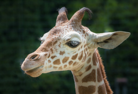 cloesup: Cloesup portrait of a cute young giraffe from the side Stock Photo