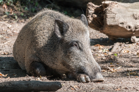 Cute European wild boar lying in the mud in the warm summer sun of the German Black Forest Stock Photo