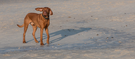 man's best friend: Funny dog at a beach with one ear being blown straight up by the wind