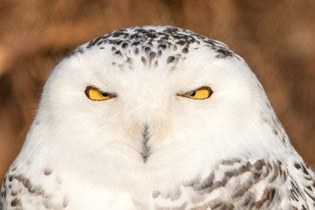 Close-up portret van een besneeuwde uil, griezelig op zoek naar prooi Stockfoto