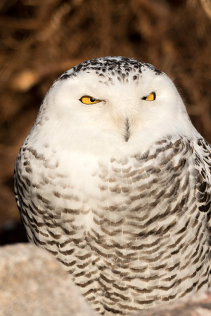 Closeup portrait of a snowy owl, grimly looking out for prey Stock Photo
