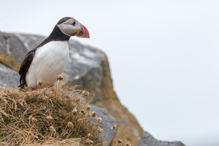 Portrait of a cute and funny Atlantic Puffin next to its burrow on famous Dyrholaey peninsula, southern Iceland Stock Photo