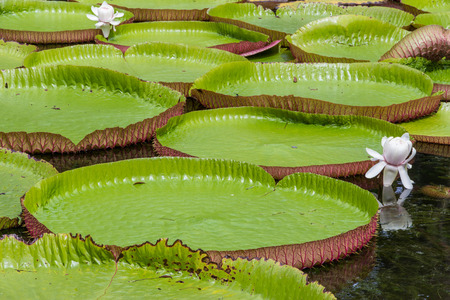 World famous pond with giant water lilies in the botanical garden of Pampelmousses, Mauritius island Stock Photo