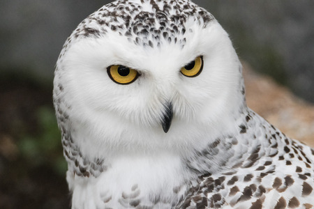 Closeup portrait of a snowy owl, grimly looking out for prey Stockfoto