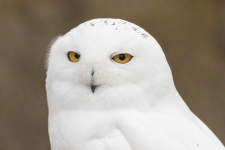 Closeup portrait of a snowy owl, grimly looking out for prey Banco de Imagens