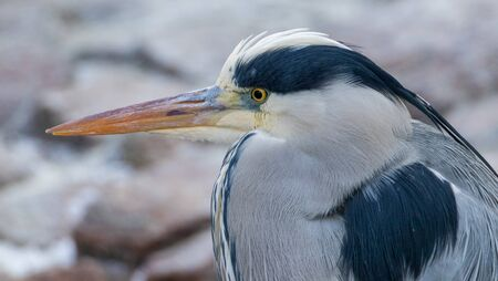 Portrait shot of a grey heron looking out for fish to catch