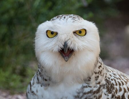Closeup portrait of a snowy owl, grimly looking out for prey and screaming Standard-Bild