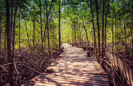 Wood bridge in mangrove forest for Explore nature of thailand.Nature Trails of mangrove forest.