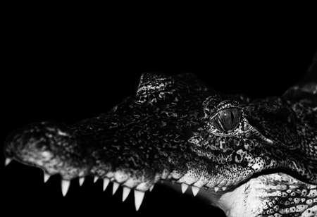 Crocodile is open mouth