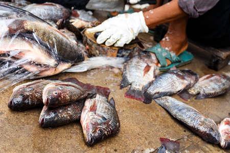 Fishermen are sitting scraping scrotum tilapia.