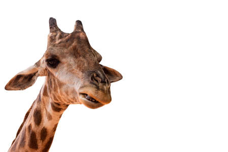 Giraffe on a white background.