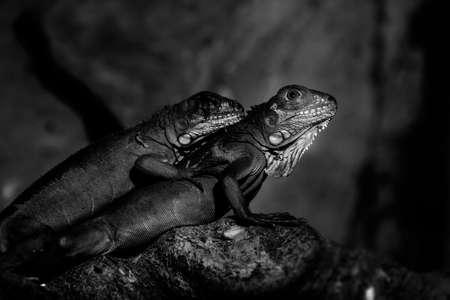 Chameleon in nature  black and white.