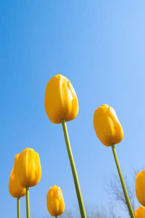 Fresh colorful tulips photo